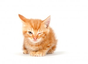 Yellow kitten winking on white
